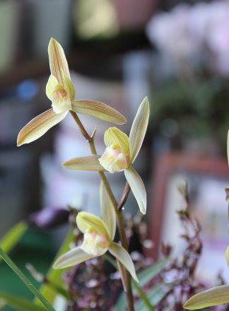 【和蘭】一葉 花