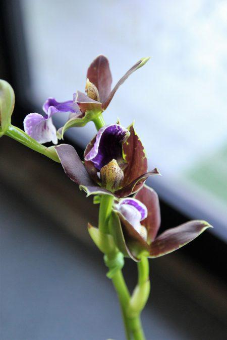 紫香蘭プリティーアン2